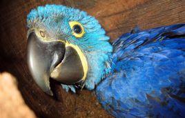 Hyacinth macaw squab