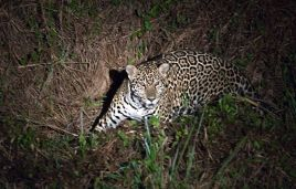 The jaguar is a nocturnal predator
