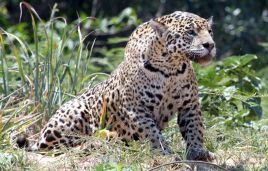 The jaguar's name origin ist the Tupi word yaguara