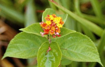Amazon flower