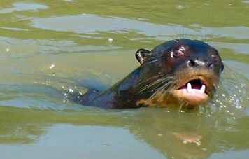 The giant otter (Pteronura brasiliensis)