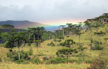 Rainbow over araucaria trees