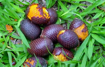 Fruit of Buriti mauritia