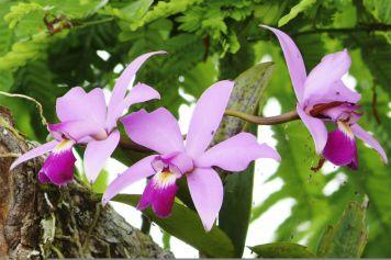 Cattleya yenmanii