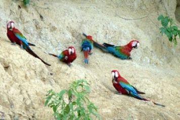 Macaws and parrots clay lick - Paradeão das Araras