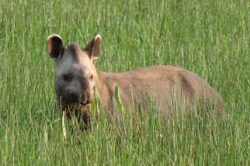 The Tapir (Tapirus terrestris)