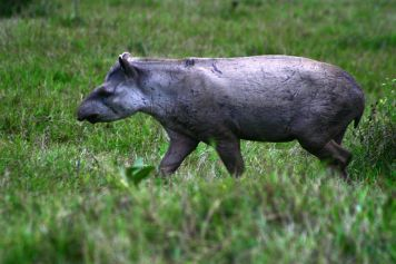 The Tapir in the Pantanal of Nhecolândia