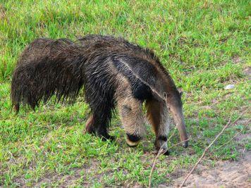 Giant anteater at Fazenda Miranda
