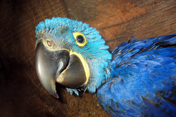 Hyacinth Macaw Project in the Pantanal