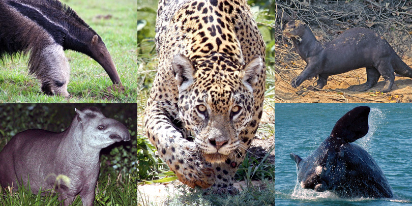The Big 5: Jaguar, Giant Anteater, Tapir, Giant Otter, and Southern Right Whale