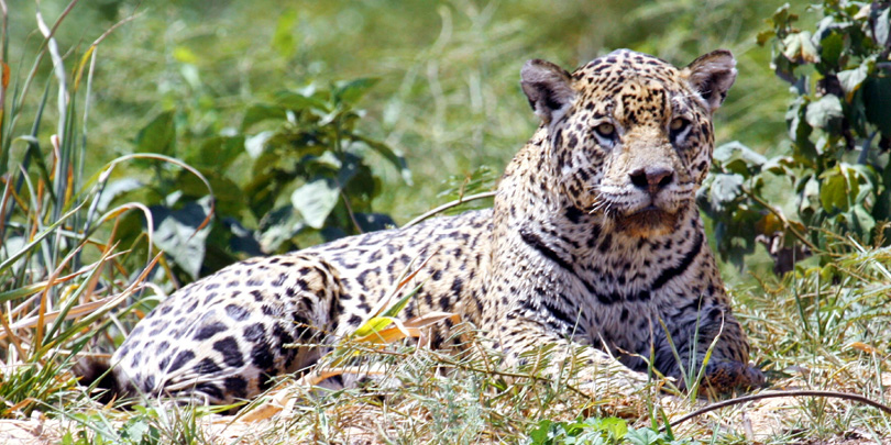 The Jaguar, the biggest wildcat of the Americas