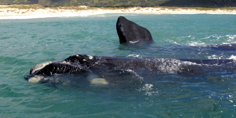 Southern Right Whale at the coast of Santa Catarina