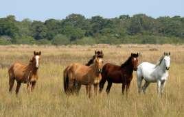 Pantaneiro horses