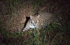 The jaguar is a nocturnal predator