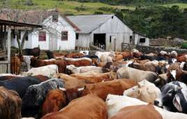 Cattle drive back to the farm