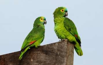Green macaw