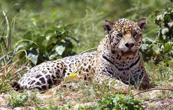 The jaguar (Panthera onca)