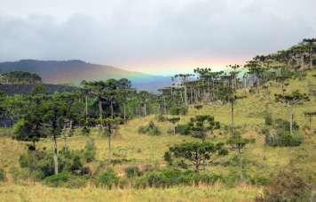 Rainbow over araucaria trees