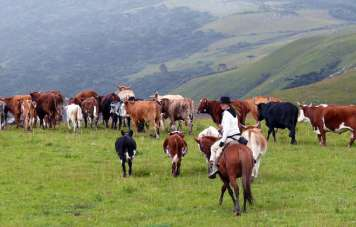 Visitants are welcome to help trailing the cattle