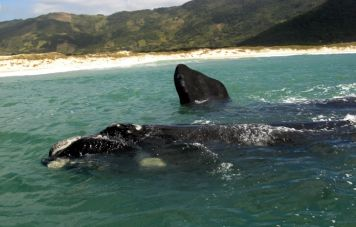 Southern Right Whales (Franca / Eubalaena australis)