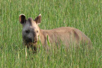 The Tapir (Tapirus terrestris)